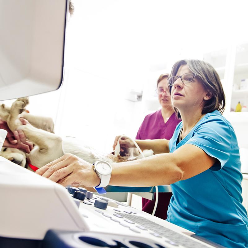 veterinaria realizando ecografia en cuenca