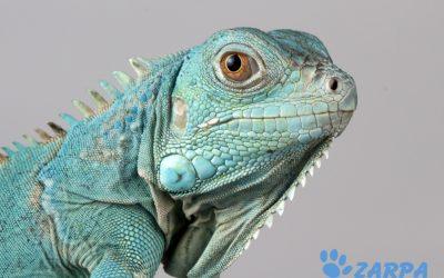 7 cuidados básicos para tu iguana