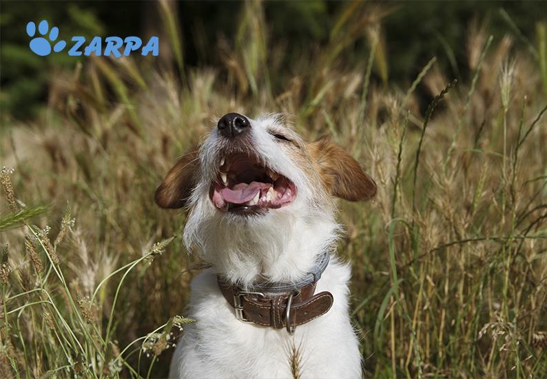 ¿Cómo actuar si tu perro se clava una espiga?