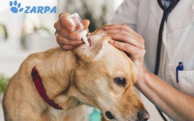 Otitis en perros: síntomas, causas y tratamiento
