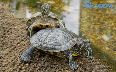 ¿Cómo se reproducen las tortugas domésticas?